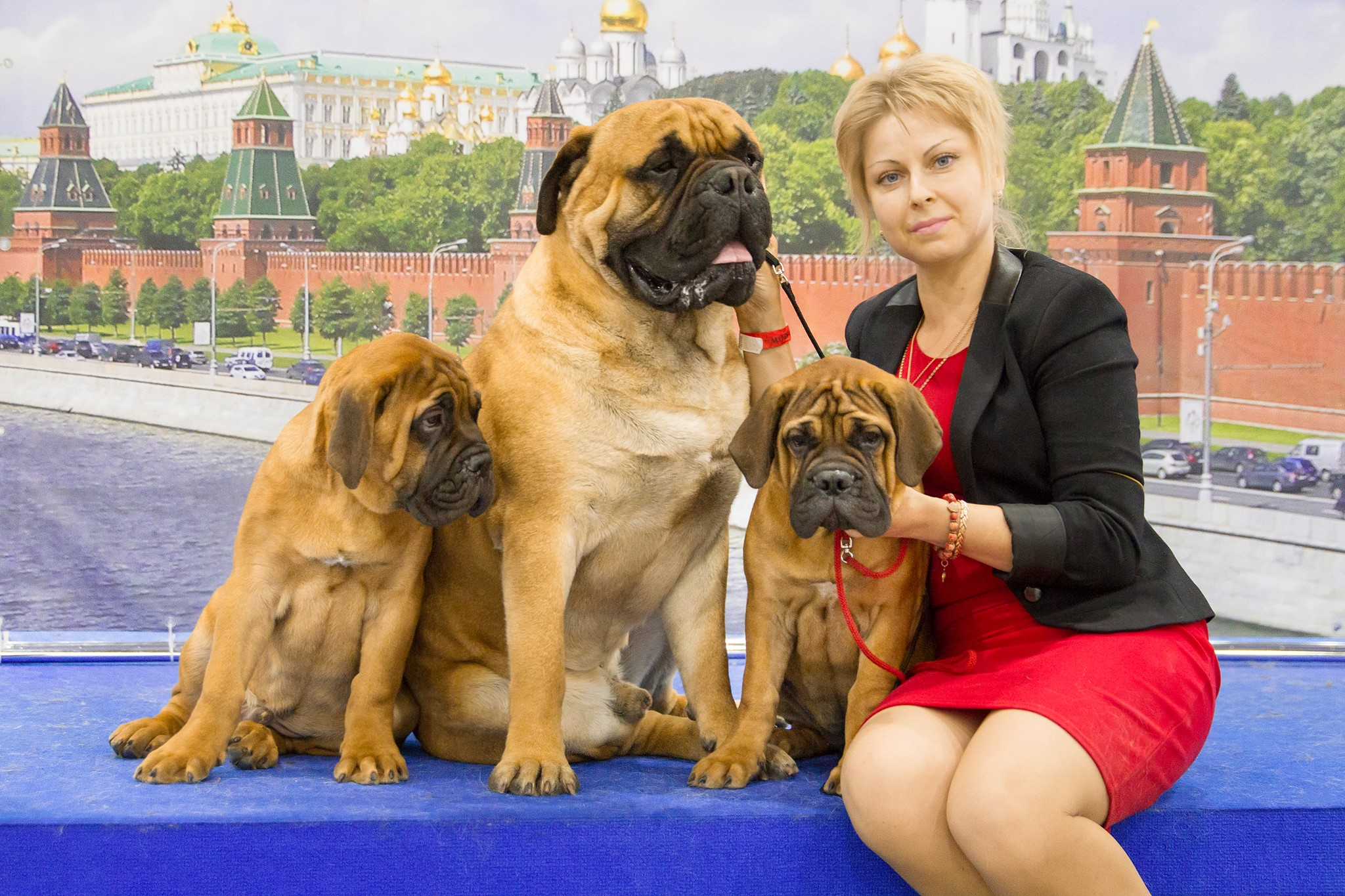 World Dog Show 2016 / Bullmastiffs